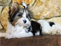 Healthy Teacup Yorkie puppies for Adoption Text 408-676-7102 Healthy Teacup Yorkie puppies for Ado