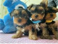 I have 4 small breed Yorkshire terriers Coming with first round of shots and de
