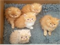 I have 5 Persian kittens with amazing coatsThey have  great pedigree with Tracey lines on their sir