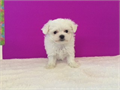 Maltese 9 weeks old smallest in the litter up to date on shots and deworm short button nose un