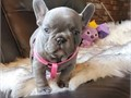 AKC Lilac Female French Bulldog puppies one Lilac Pied and one Lilac girls   T