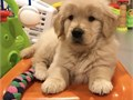 Golden Retriever Puppies available have all papers up to date AKC registered