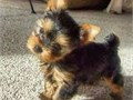 T Cup Yorkie PupsThey are Akc registered and vet checked and will be coming with all papersAlso ve