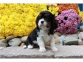 Cavalier King Charles Spaniel puppies that are 12 weeks old and are up to date w