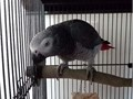 African Grey Baby is ready to find a new home This adorable little bird are one of the sweetest bir