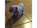 Adorable brown and white English Bulldog She will be ready for her forever home Best Christmas gif