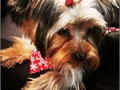 we have 3 FEMALES Yorkshire Terriers Yorkies DOB 11016 Ready 3616 Vet checked Docked Tails