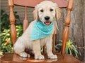 The sweetest most loved puppies These adorable Golden Retriever pups are family-raised and well-s