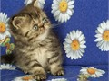 Joyful Himalayan KittensWe take pride in raising and breeding CFA quality kittens All of our babie