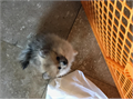 Teacup PomeraniansWe have two very adorable chocolate brown and cream Male and Female teacup Pomer