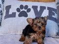 Teacup Yorkie Puppies for sale Text 551 888 -3483Text 551 888 -3483  Em