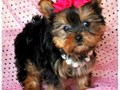 Small cute teddy bear healthy potty-trained faces Male and female Yorkie puppies available The
