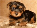 adorable male and female Yorkie puppies looking for loving and caring homes for them this pu