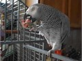 Cute African grey parrots available they are well trained love playing with people and other house
