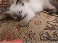 GTu HappyReg Ragdolls They Are Able To Cope With Every Day Household Noise Big Dogs Spotty Dogs