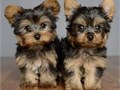 We have 3 Yorkies available  1 Boy  2 Girls  12 Weeks Old  Shots  Worming Up To Date  Partiall
