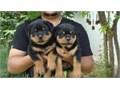 Nice Rottweiler Puppies For further question or fast response textcall at 430
