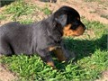 Male and female Rottweiler puppies for pet lovers They are 10 weeks old vet checked dewormed and