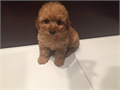 Gorgeous Red color maltipoo puppy with curly poodle hair  round eyes up to date on shots and dewor