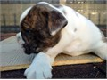 Olde English Bulldogge pups great color w papers male  female great temperament and parents on p
