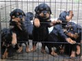Rottweiler pups AKC German registered with papers 8 weeks old all shots parents on premises glen