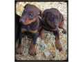 Our Doberman Puppies Come with ALL Current Vaccinations  Dewormings and Tails DockedSold as Pet