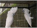 Beautiful Moluccan cockatoo is availableWe have many Baby Birds available Some being hand fed  so