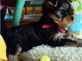 Sweet and adorable Yorkie puppies available for rehoming in-box for more information if interested r
