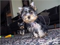 AKC tiny pure breed Yorkies very healthy and playful10 weeks old tail docked declawed 1st set o