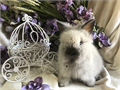 Beautiful double mane Lionhead baby bunnies very sweet and friendly easy to litter box train they