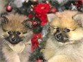 Pomeranians 8 weeks2 Males availableVaccines up to date and Deworming d