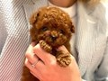 Teddy bear face red colored male toy Poodle Pups is playful and loves to cuddle Vaccines are up t