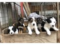 Gorgeous border collie puppies available now 7863774017HMU