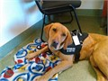 Cache Labrador Service Dogs LLC Non-Profit Breeding Training and providing service dogs for over 20