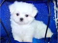 T CUPS MALTESE PUPPIES FOR SALE SOOO GORGEOUS GUARANTEE YOU WILL FALL IN LOVE WE HAVE 2 T CUPS MALE