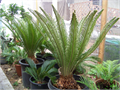 I have Sago Palms available in different sizes and different prices If you buy more than 1 you can