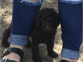 Standard poodle puppies male and female Tails docked dewclaws done Up to date on shots and deworm