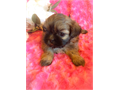 Gorgeous gold with black mask imperial size Shih Tzu - parents are AKC registered - mom is 6 lbs and