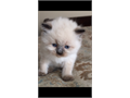 I have been breeding Persian  Himalayan kittens since 2004 The kittens health  well being are my