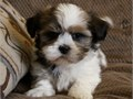 All the puppies are house trained and are very friendly with children and other petsThey have pedig