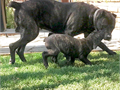 Pure bred Corso Corso Puppies11 weeks old tails docked dewclaws removes first round of vaccina