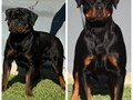 We are glad to announce our upcoming litter from Sire Gari Spartan Arena x Dam Daisy Kaiser Vom Ha