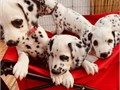 Our puppies have been brought up in a busy home with children and other pets and