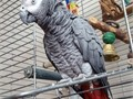 African Grey Male Large  was hand tamed and has been living with us for the past 7 years My husb