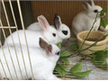 We have Netherland dwarf and Mini Rex dwarf readya great collection with lots of choices you