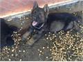 akc german shepherds pups sire solid black german working lines from schh titled ancestryakc  dn