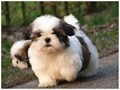 Lucky is our Gorgeous Shih Tzu Puppy She is really spunky but also loves to be cuddled Lola come