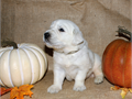 100 AKC English Golden Retriever puppies  Pedigree from European lines Mother has the sweetest pe