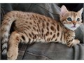 Great Personality Male And Female Bengal Kittens For Salekindly text or call 6513218544