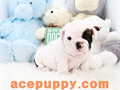 top quality AKC triple carrier Beautiful 2 months old English Bulldog boys and girlsshots and wo